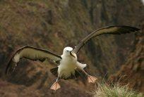 Albatros_à_bec_jaunes