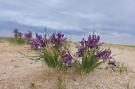 Desert iris (Shutterstock)