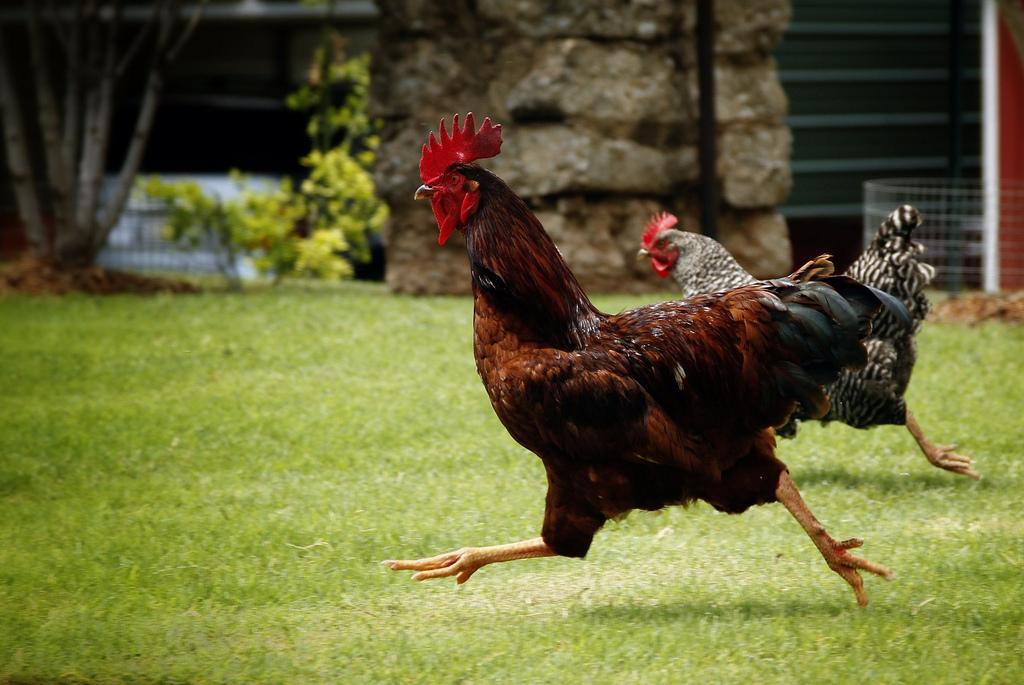how to catch a wild chicken