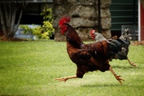 Running chickens (Flickr)