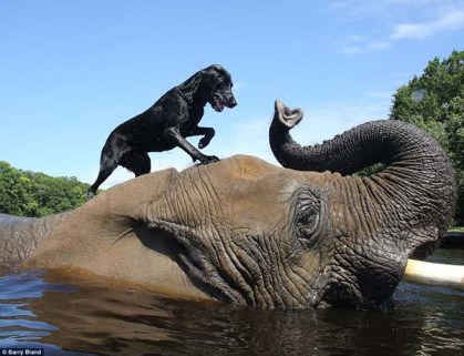 Dog riding elephant