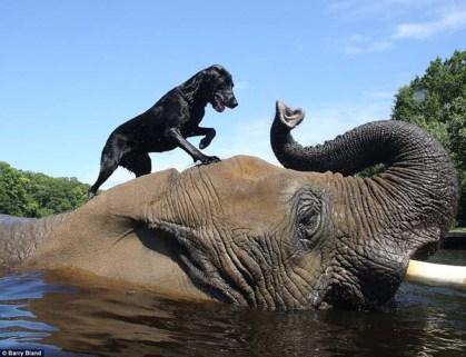 Dog riding elephant