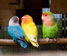 Three_lovebirds_on_a_perch-8a (Wikimedia)