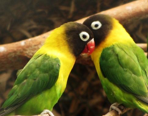 Two lovebirds (Flickr)